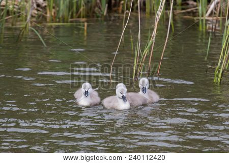Photo Of A Group Of Mute Swan Signets Swimming With Reflections In The Water