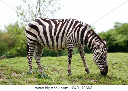 Full Body Of Two African Striped Coats Zebra. Photography Of Wildlife.