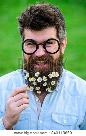 Springtime Concept. Guy Looks Nicely With Daisy Or Chamomile Flowers In Beard. Man With Long Beard A