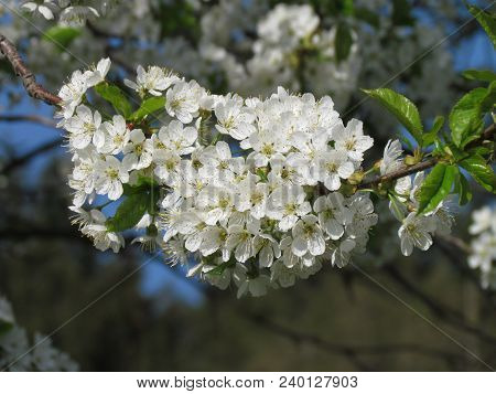 Closeup Of A Cherry Blossom With A Blurred Background, Detail Of White Flowers