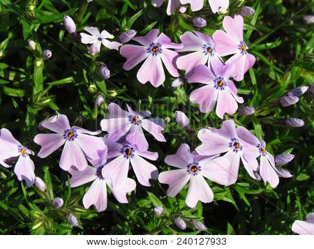Phlox, Pink Variant, Low Cover Plant, Detail Of Blossom, Small Rosa Flowers, Ornamental Gardening