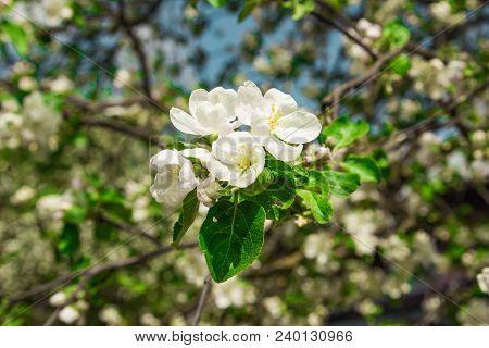 Apple Blossom Against The Sky. White Apple Tree. Blossoming Apple-trees. Apple Tree In The Spring.