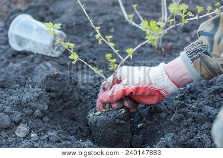 A Man Planted Bushes. Plant A Tree. Seedling Of Currant.