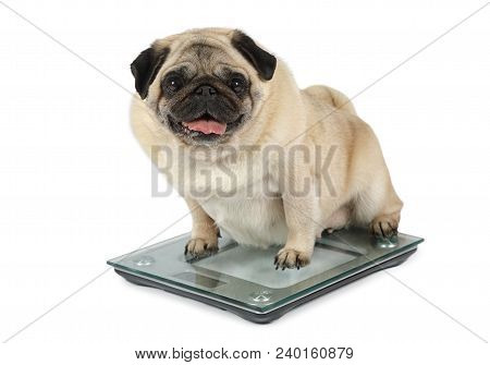 Fat Pug Dog Weighting On Floor Scales Isolated On White Background