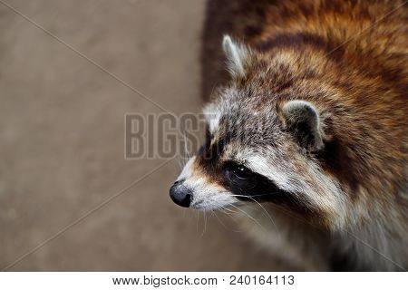 Close-up Of Lotor Common Raccoon. Photography Of Wildlife.