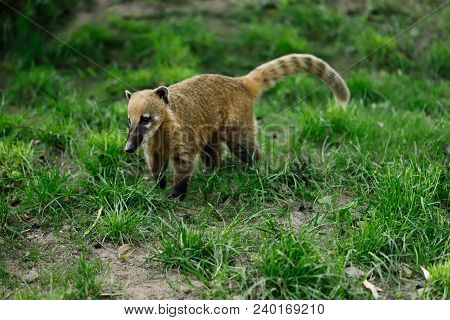 Full Body Of Nasua Raccoon On The Green Meadow. Photogrphy Of Wildlife.