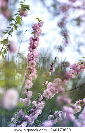Spring Natural Background With Pink Flowering Spring Blossom, Green Lawn. Beautiful Pink Spring Tend