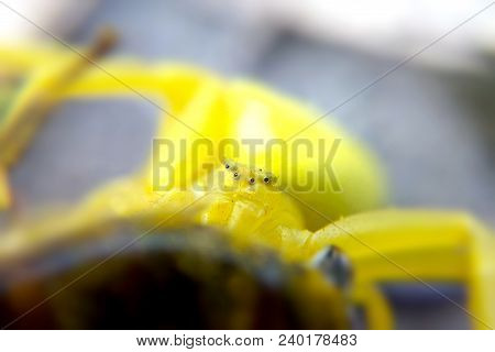 Yellow Spider Close-up Portrait Of A Blurred Background, The Insect Predator Close-up