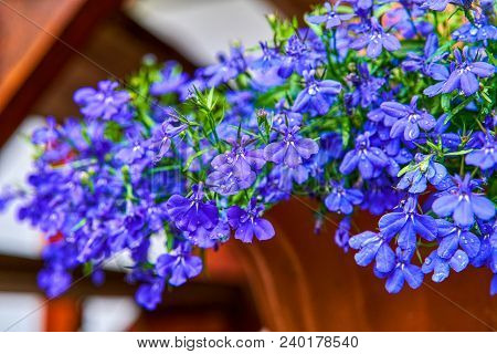 Blue Violet Lobelia Erinus Sapphire Flowers A Popular Edging Plant In Gardens For Hanging Baskets An