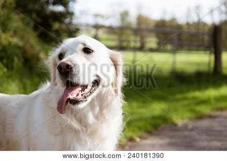 Purebred White Golden Retriever Siting Down In The Middle Of A Country Road