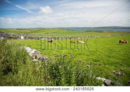 Irish Country, Landscape View, Green Grass Covered Field, Stone Fences And Flowers With Cows, Next T