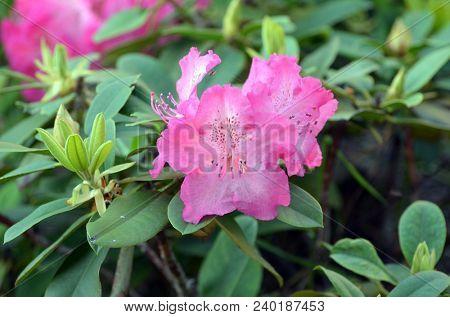 Azalea or rhododendron in garden. Season of flowering azaleas (rhododendron).