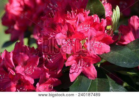 Big pink azalea or rhododendron in garden. Season of flowering azaleas (rhododendron).
