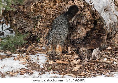 Grey Fox (urocyon Cinereoargenteus) Emerges From Log - Captive Animal