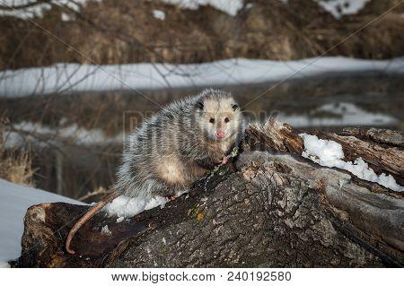 Opossum (didelphimorphia) Looks Out From Atop Log - Captive Animal