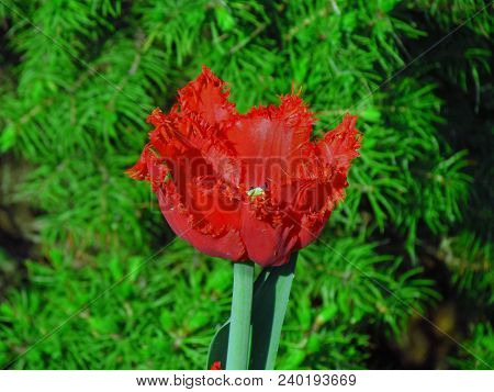 Full-flowered Red Tulip, Rich Blossom With A Serrated Edge Of The Flower Close-up