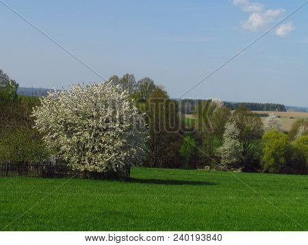 Spring Beautiful Countrysice Landscape With Flowering Cherry Tree On The Edge Of A Green Meadow, Apr