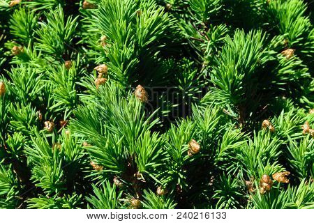 Background Of Green Conifer Bush With Spikes