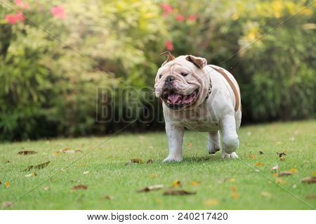 White English Bulldog Smile And Run On Green Grass At Public Park, Fat Dog Are Funny