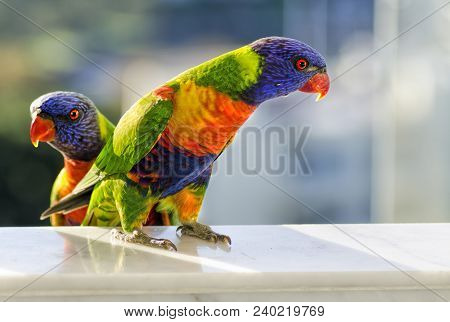 Two Rainbow Lorikeets (trichoglossus Moluccanus)  Sitting In A Window
