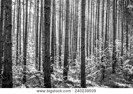 Parallel Aspen Trees In Forest Landscape In Monochrome