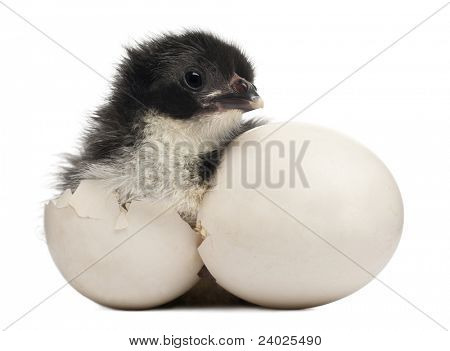 Chick, Gallus gallus domesticus, 8 hours old, standing next to it's own egg in front of white background