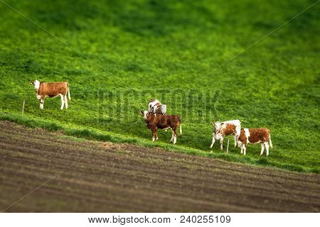 Cattle On A Green Meadow Behind A Fence By A Rural Field Seen From Above