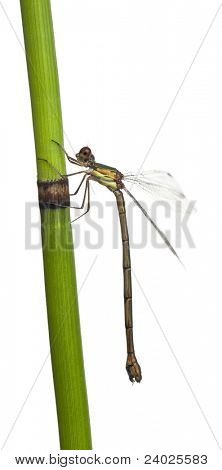 Willow Emerald Damselfly or the Western Willow Spreadwing, Lestes viridis, on plant stem in front of white background poster