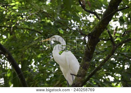 Amazing Great Eastern Egret Bird Sitting In A Tree Top.