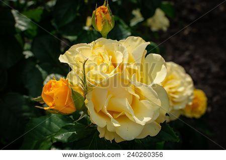 Closeup Of Beautiful Yellow Rose In Garden, Top View