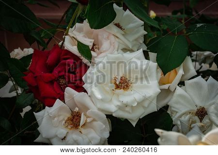 Big Red And White Roses Bouquet Background