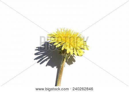 One Dandelion On A White Background, One Yellow Flower Isolate