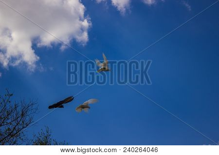 Numerous Breeds Of Pigeons Astonished With Their Devotion. These Miniature And Graceful Birds Were C
