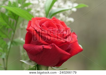A Red Rose With Copy Space, Selective Focus.