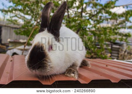 Agricultural Rabbits Are Very Beautiful And Attract Their Coloring Of Wool. Home Rabbits Domestic Ra