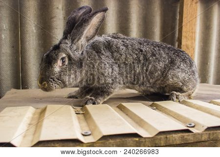 Agricultural Rabbits Are Very Beautiful And Attract Their Coloring Of Wool.home Rabbits Domestic Rab