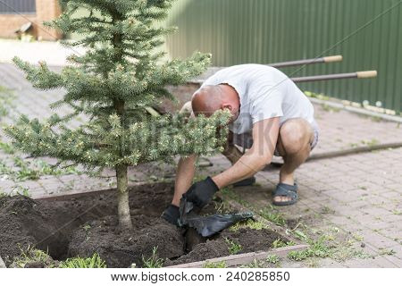A Man Is Planting A Christmas Tree. Man Planting Small Christmas Tree In Silty Soil Ground With Bare