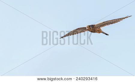 Common Kestrel (falco Tinnunculus). Common Kestrel In Flight