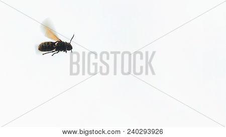 European Hornet Flying Vespa Crabro