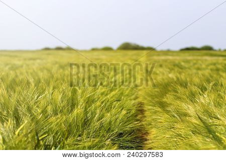Green Wheat Field Landscape. Green Wheat Field. Agriculture Background.