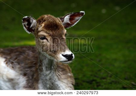 Portrait Of Fallow Deer (dama, Dama) In The Forest. Phtography Of Wildlife.