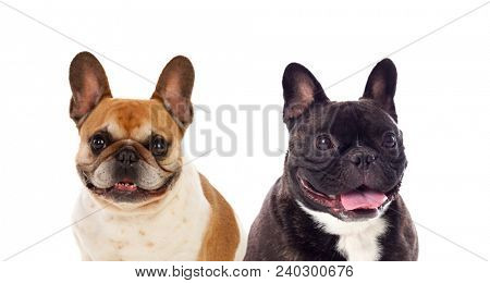 Portrait in Studio of cute bulldogs isolated on a white background