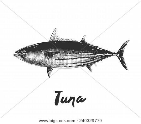 Vector Engraved Style Illustration For Posters, Decoration And Print. Hand Drawn Sketch Of Tuna Fish