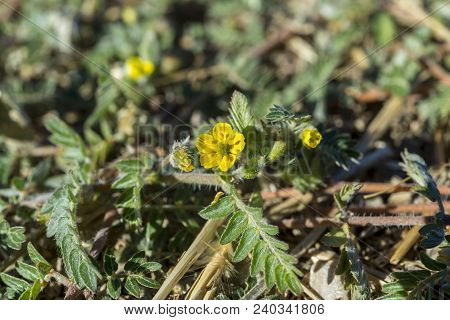 Leaves And Flowers Of Tribulus Terrestris. It Is Native To Warm Temperate And Tropical Regions Of Th