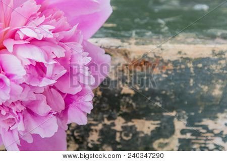 Pink Peony Flower On Grunge Green Background, Close-up