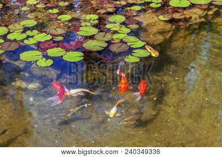 Red Trout In The Pond Of Riviera Park. Sochi.