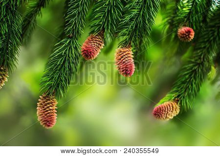 Young Pine Cones On The Branches Of A Pine Tree. Natural Blurred Background With Coniferous Plant At