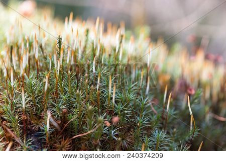 Moss, Hair Cap Moss Or Hair Moss On The Ground, Closeup, Lush Green Carpet Of Moss