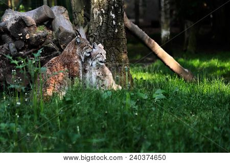 Portrait Of Paar Eurasian Lynxes On The Grass. Photography Of Wildlife.