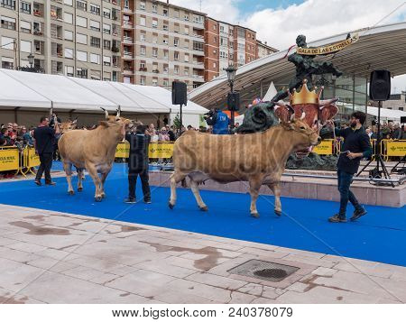 Oviedo, Spain - May 12, 2018:  Best In Its Breed Cows Parade At The Breeding Exhibition On The Ascen